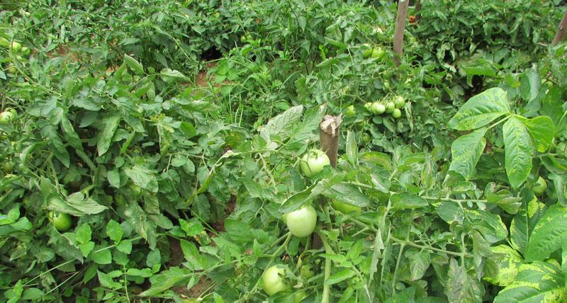 india-cultivo1