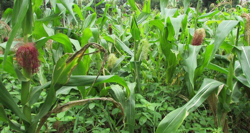 india-cultivo2